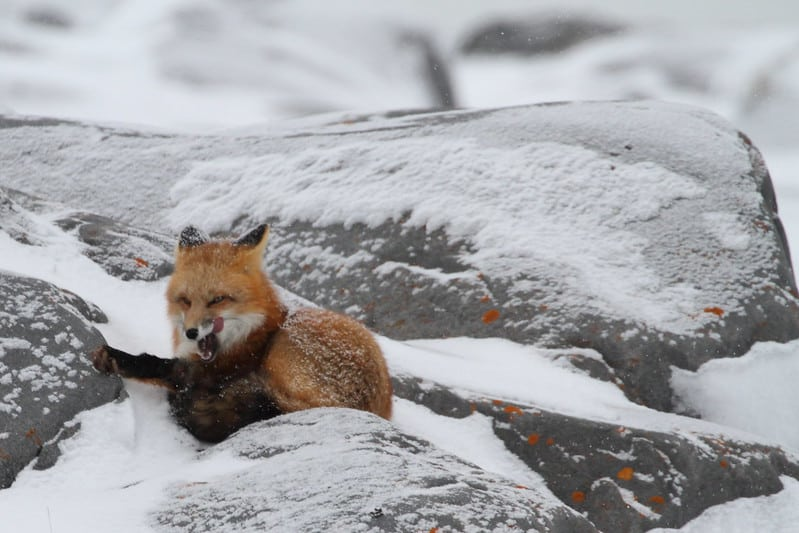 Do Foxes Hibernate