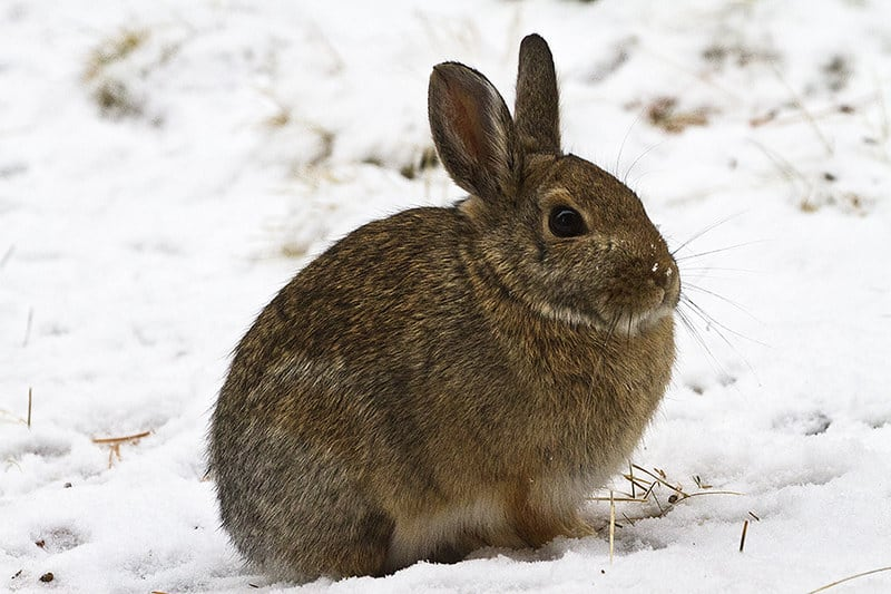 How Do Rabbits Survive Winter