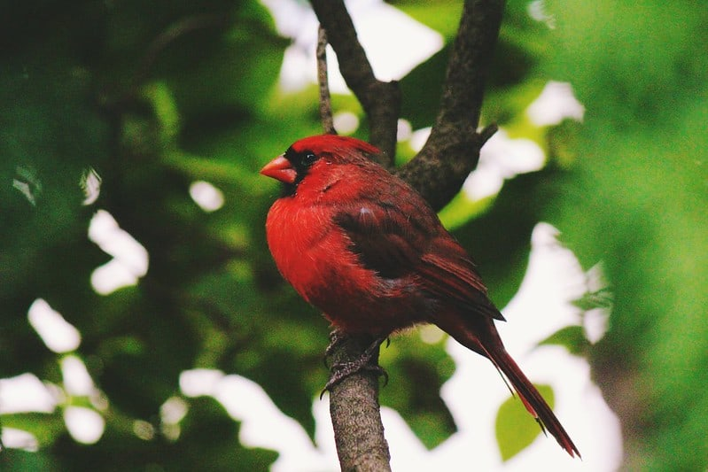 How To Attract Cardinals And Blue Jays
