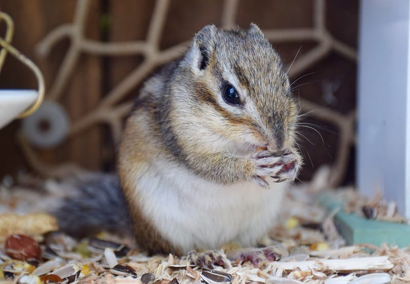 How Do Chipmunks Survive In The Winter