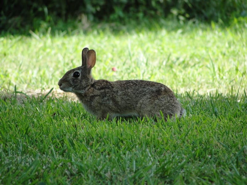Wild Rabbit Sitting In One Place