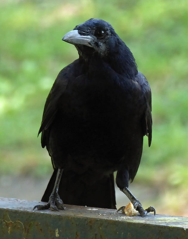 How To Befriend A Crow