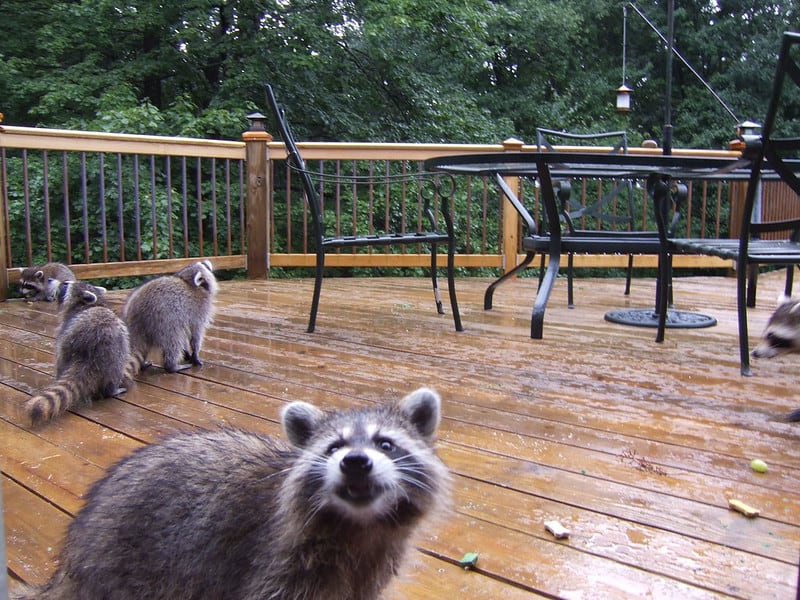 Can Raccoons Eat Chocolate