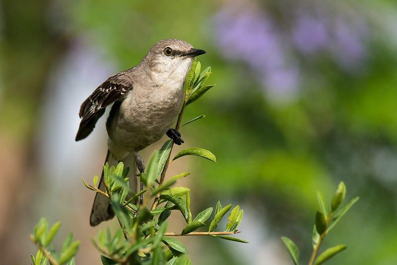 How To Get Rid Of Mockingbirds