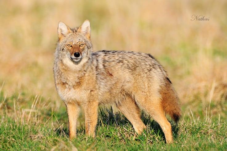 What Eats A Fox