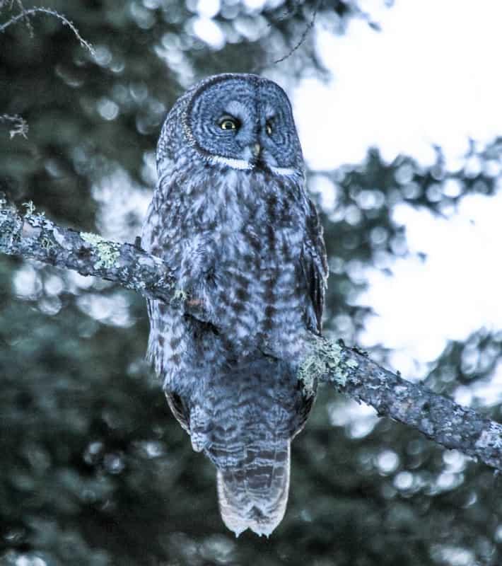 Do owls hibernate