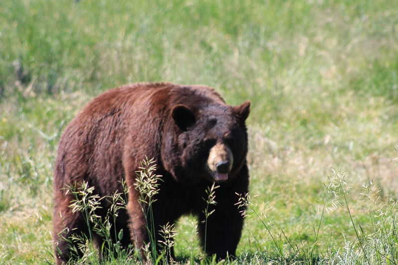 Does pine-sol deter bears