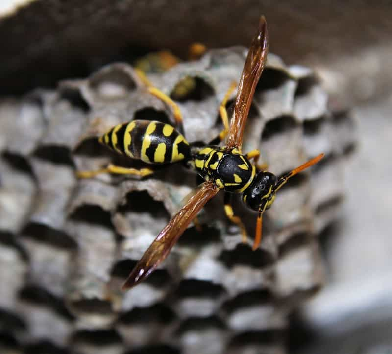 Half Dead Wasps In House