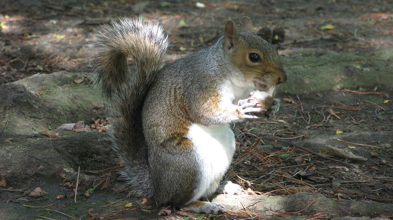 Why Do Squirrels Chirp