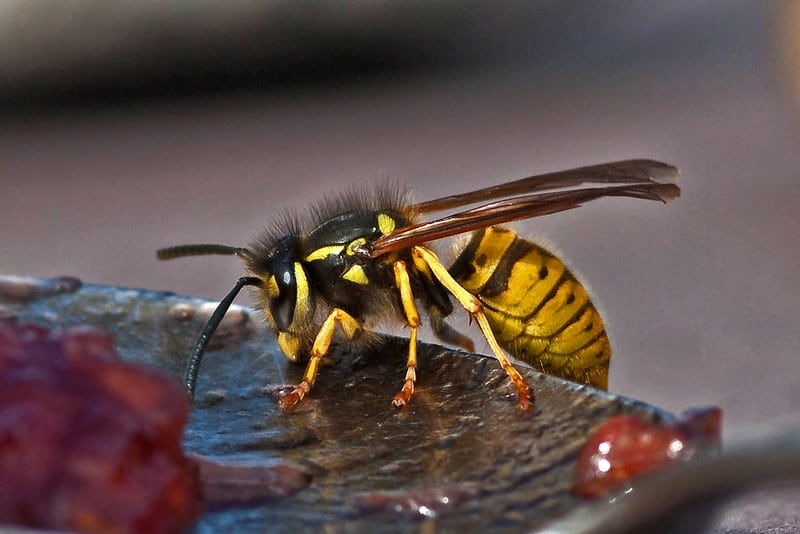 Wasps As Pets