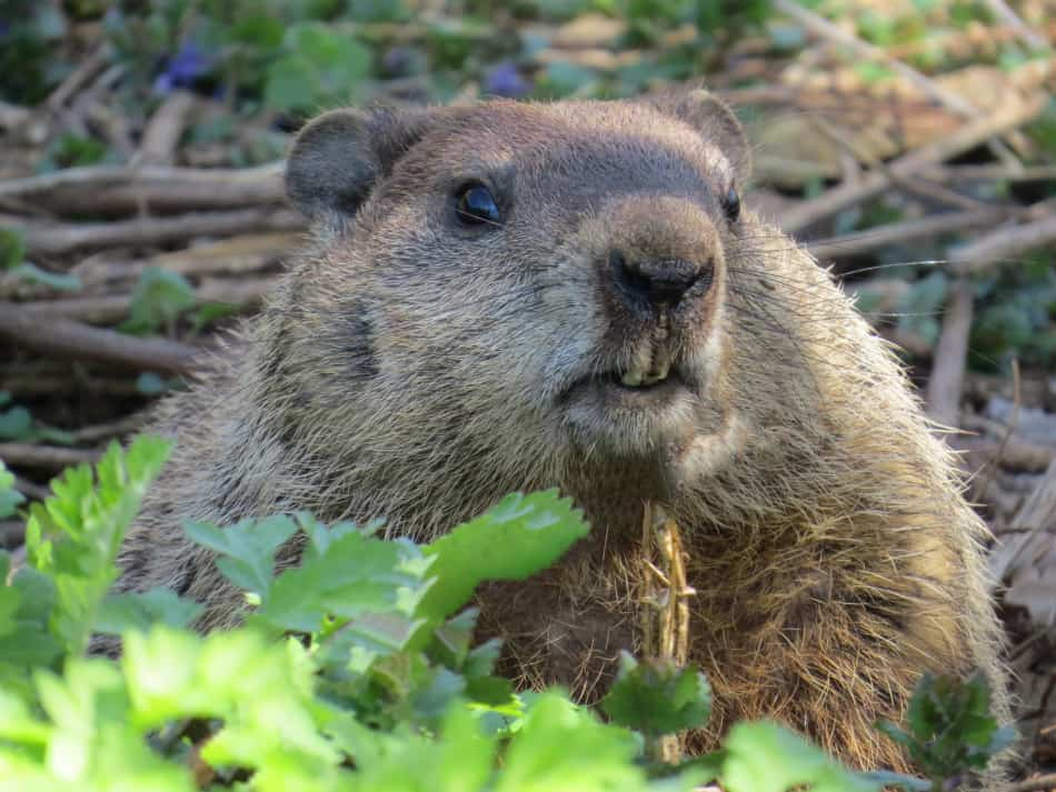 What Do Groundhogs Eat
