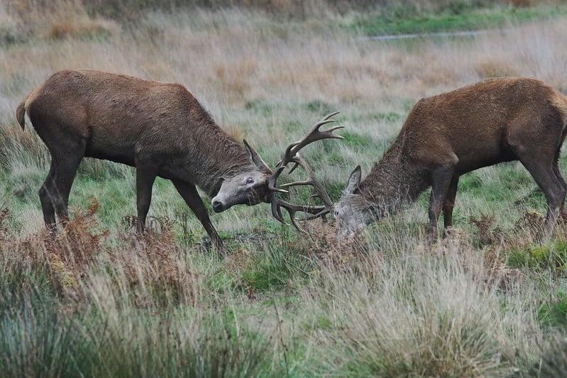 How Do Deer Communicate