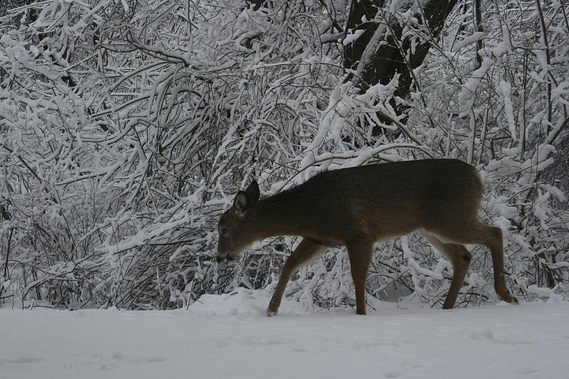 How Do Deer Stay Warm In The Winter