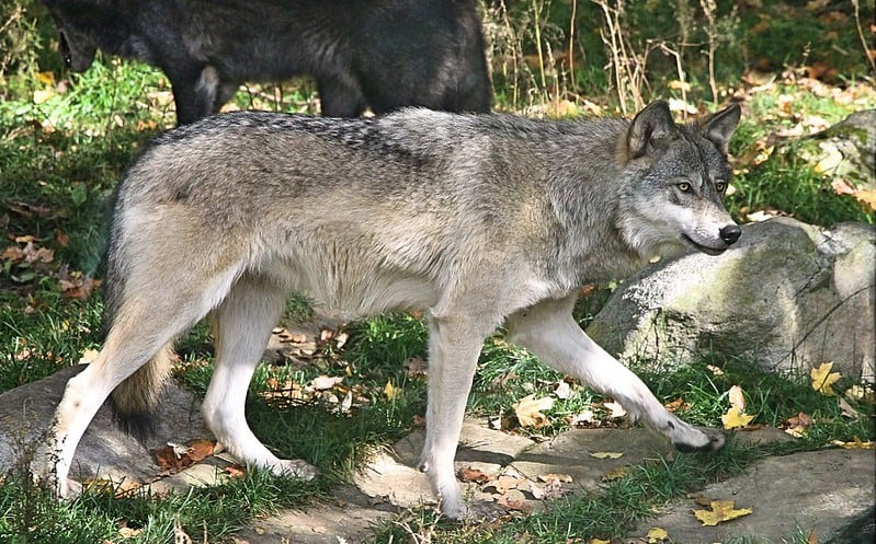 What Eats A Wolf