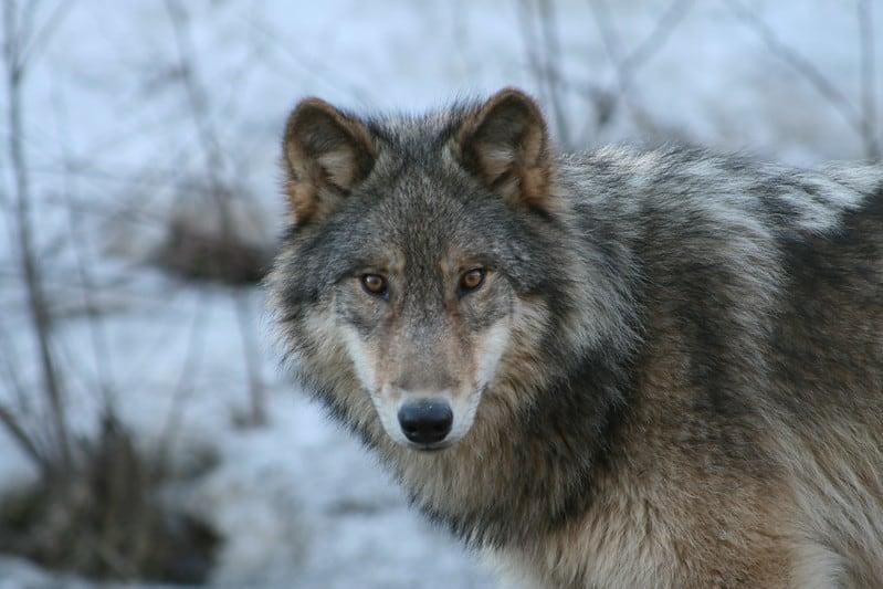 Do Wolves Hibernate