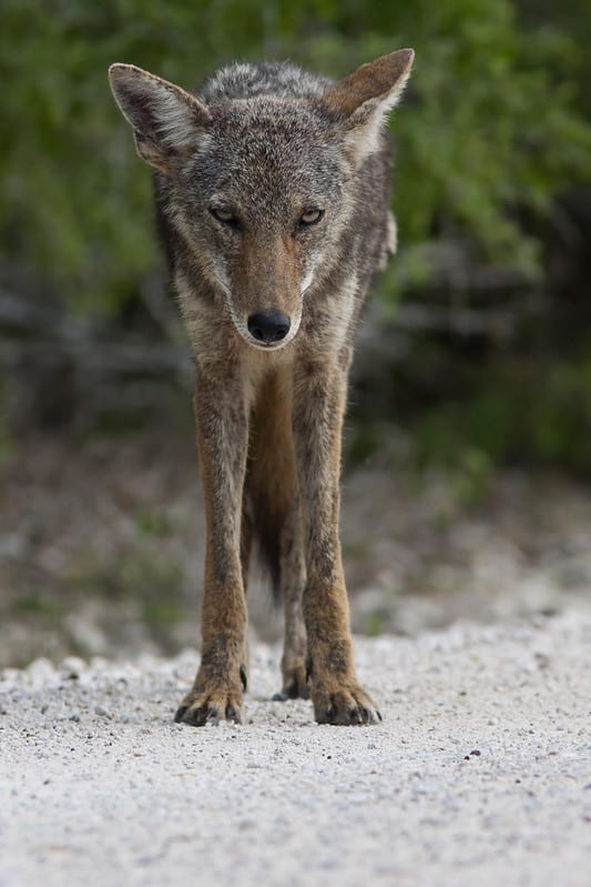 Dangers Of Coyotes