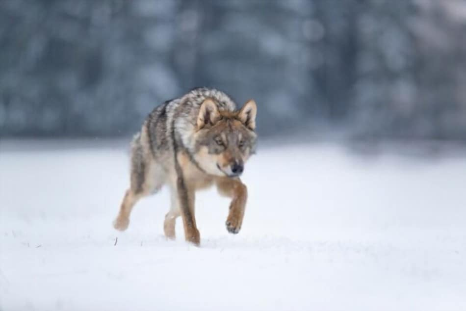 can you eat wolf