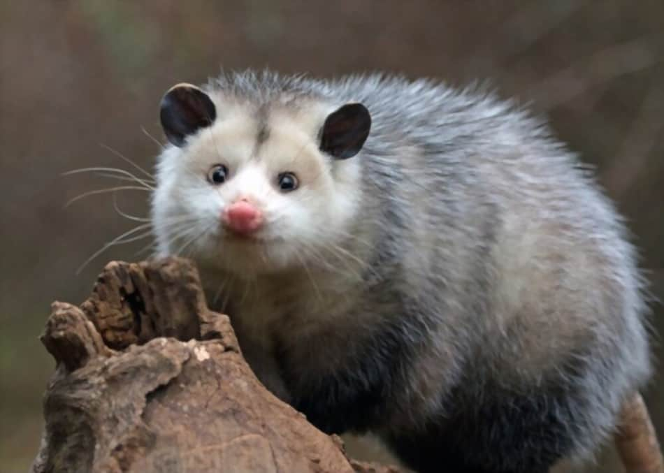 Can you eat possum