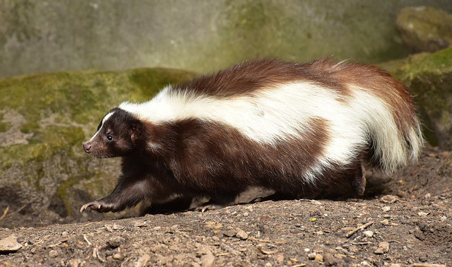 Can You Eat Skunk