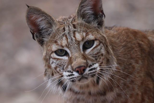 Can You Eat Bobcat